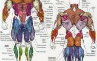 Мышечная память и ее значение в бодибилдинге